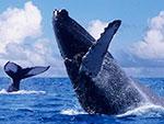 Синий кит